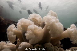 plumose anenome by Dennis Howie 